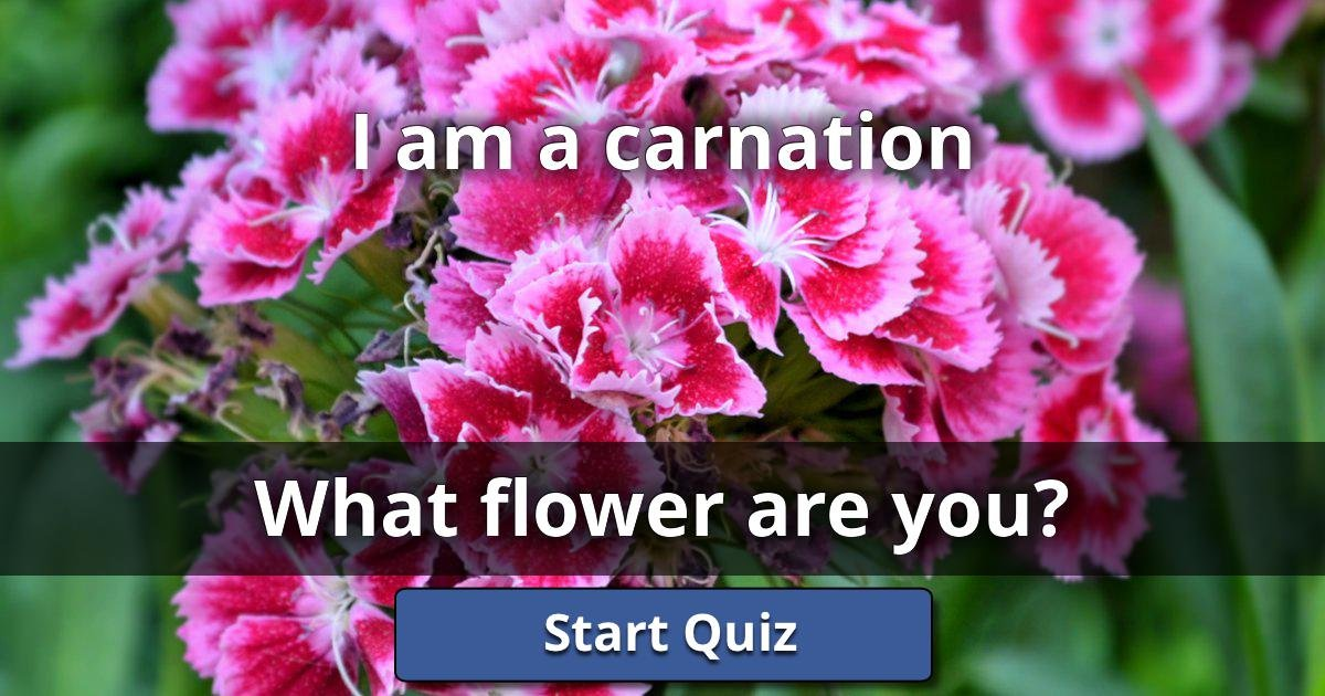 i am a carnation what flower are you lusorlab quizzes. Black Bedroom Furniture Sets. Home Design Ideas