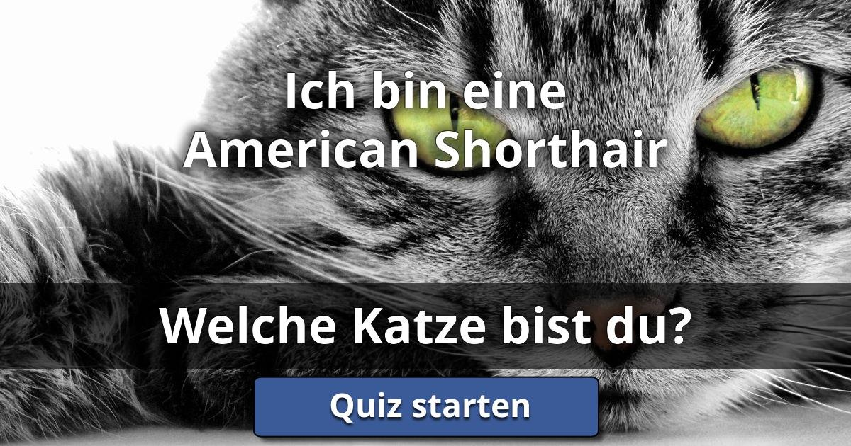 ich bin eine american shorthair welche katze bist du lusorlab quizzes. Black Bedroom Furniture Sets. Home Design Ideas